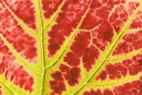 SAS-1234 vine leaf - detail of a colouful red and yellow coloured vine leaf in autumn  Baden-Wuerttemberg, Germany  Vitis vinifera Steffen & Alexandra Sailer Please note that prints are for personal display purposes only and may not be reproduced
