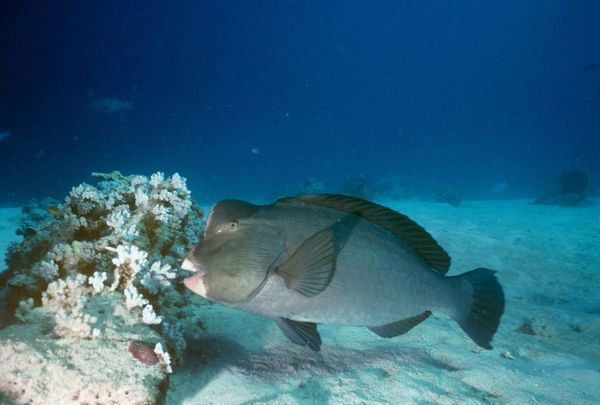 VT-7720 Humphead Parrotfish - Also known as: bumphead parrotfish, giant humphead parrotfish and green humphead parrotfish