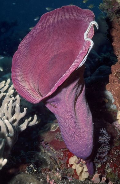 VT-8165 Vase Sponge Papua New Guinea Verongida lanthellidae Valerie & Ron Taylor Please note that prints are for personal display purposes only and may not be reproduced in anyway
