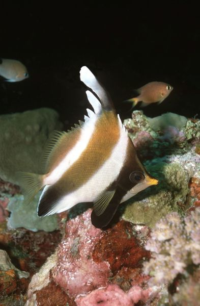 VT-8456 Pennant / Horned BANNERFISH / Threeband Pennantfish / Horned Coralfish - lives around coral caves, often in pairs Komodo Island. Indonesia Heniochus chrysostomus Valerie & Ron Taylor Please note that prints are for personal display purposes only