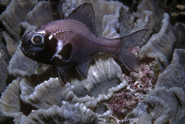 VT-8766 Flashlight Fish - these fish have a symbiotic bacterium that produces the light as a byproduct of metbolsim