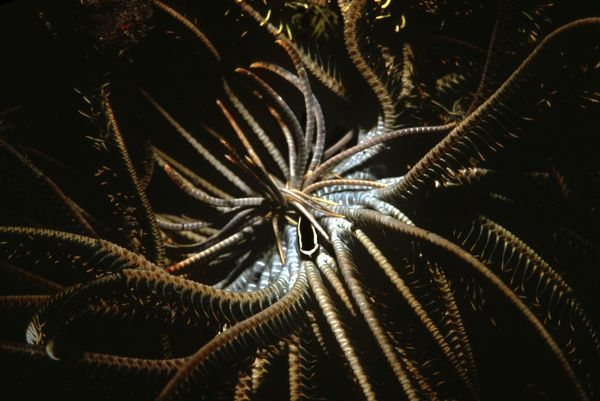 VT-8767 Crinoid Clingfish - they have a symbiotic relationship with featherstar where they receive shelter and a steady supply of food as it filters through the stars arms Great Barrier Reef
