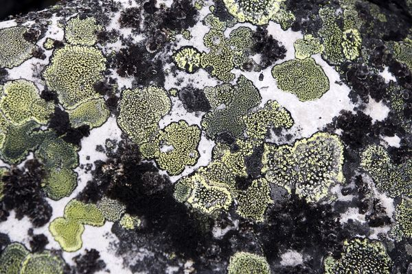 WAT-12331 lichens on rocks Varanger - Norway M. Watson Please note that prints are for personal display purposes only and may not be reproduced in anyway