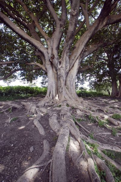WAT-13139 Fig Tree Awassa Ethiopia Ficus sp.  M. Watson Please note that prints are for personal display purposes only and may not be reproduced in anyway