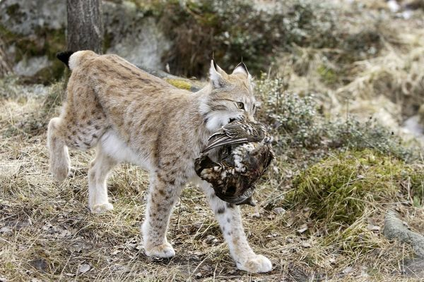WAT-15570 European Lynx - with prey of capercaillie. Finland. Captivity Lynx lynx M. Watson Please note that prints are for personal display purposes only and may not be reproduced in any way