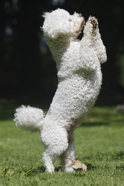WAT-15716 Dog - Bichon Frise - on hind legs M. Watson Please note that prints are for personal display purposes only and may not be reproduced in any way