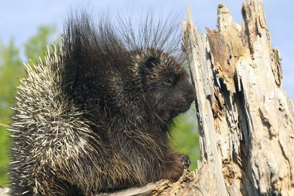 WAT-16184 North American Porcupine.  Minnesota - USA Erethizon dorsatum M. Watson Please note that prints are for personal display purposes only and may not be reproduced in any way