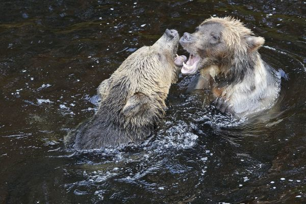 WAT-16277 Grizzly bear - two fighting / playing in water Knight Inlet - Glendale Cove - British Columbia - Canada Ursus arctos horribilis M. Watson Please note that prints are for personal display purposes only and may not be reproduced in any way
