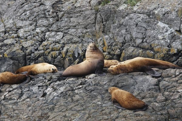 WAT-16299 Steller / Northern sealion - group relaxing on rocks Johnstone Strait - British Colombia - Canada Eumetopias jubatus M. Watson Please note that prints are for personal display purposes only and may not be reproduced in any way