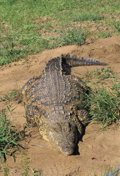 WAT-1732 NILE CROCODILE Crocodylus niloticus M. Watson Please note that prints are for personal display purposes only and may not be reproduced in anyway