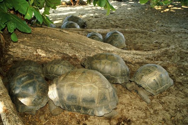 WAT-6539 Aldabra Giant Tortoise - Group resting in the shade Aldabra Geochelone gigantea  Latin also Dipsochelys elephantina  M. Watson Please note that prints are for personal display purposes only and may not be reproduced in anyway