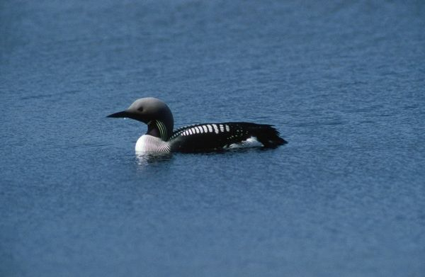 WC-937 Black-throated Diver Gavia arctica Werner Curth Please note that prints are for personal display purposes only and may not be reproduced in anyway