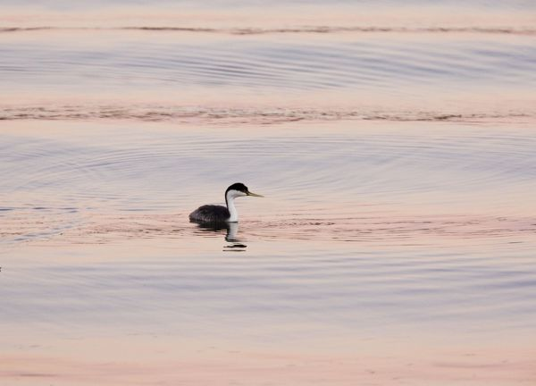ROG-13849 Western Grebe - evening light  California, United States Aechmophorus occidentalis Bob Gibbons Please note that prints are for personal display purposes only and may not be reproduced in any way