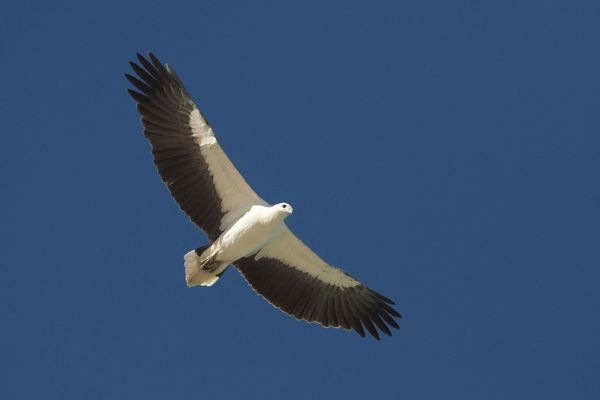 Eagles Soaring In Indiana But Dangers Lurk