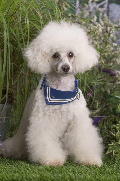 White Poodle dog outdoors in the garden Date