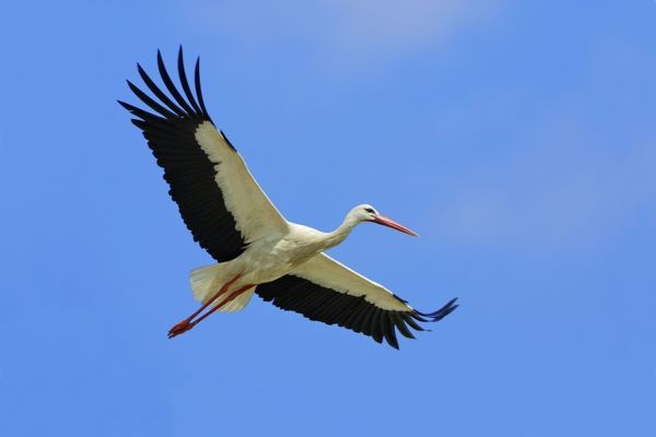 USH-2928 White Stork - in flight Extremadura, Spain Ciconia ciconoia Duncan Usher Please note that prints are for personal display purposes only and may not be reproduced in any way