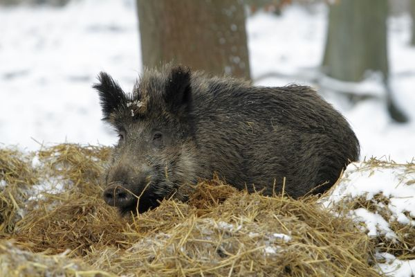 USH-4565 Wild Pig - sow resting in nest of straw in snow covered forest  Hessen - Germany Sus scrofa Duncan Usher Please note that prints are for personal display purposes only and may not be reproduced in any way