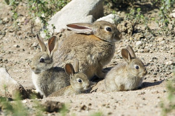 USH-4070 Wild Rabbit - doe with 3 babies, at burrow entrance region of Alentejo, Portugal Oryctolagus cuniculus Duncan Usher Please note that prints are for personal display purposes only and may not be reproduced in anyway