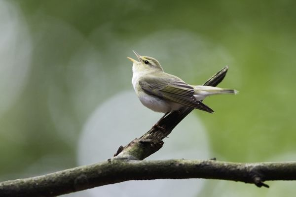 USH-4027 Wood Warbler - singing from a branch Lower Saxony, Germany Phylloscopus sibilatrix Duncan Usher Please note that prints are for personal display purposes only and may not be reproduced in anyway