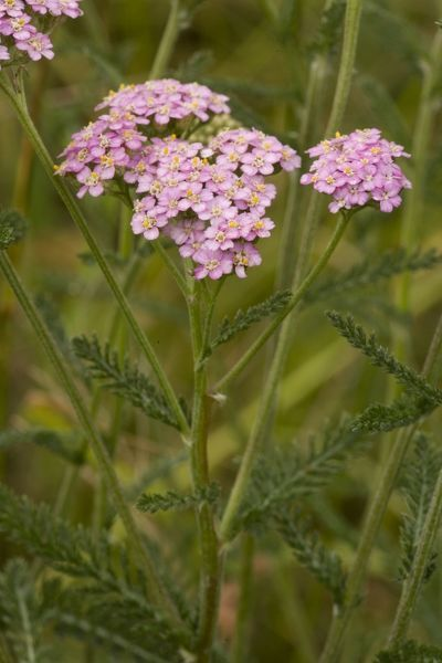 ROG-12509 Yarrow, pink form  Dorset coast, UK Achillea millefolium Bob Gibbons Please note that prints are for personal display purposes only and may not be reproduced in any way