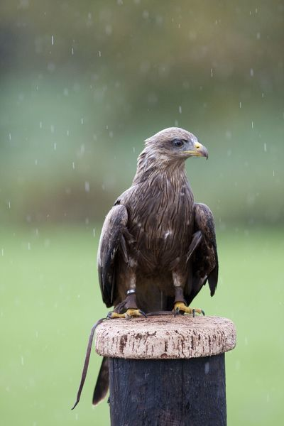 DK-205 Yellow-billed Kite - Single adult perching on post in the rain - with leather handle straps (captive) England, UK Milvus migrans parasitus David Kilbey Please note that prints are for personal display purposes only and may not be reproduced