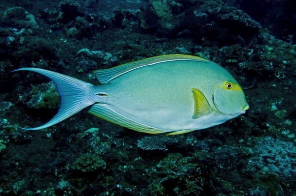 VT-8883 Yellowfin Surgeonfish - note caudal spine  Indonesia Acanthurus xanthopterus Occurs throughout the Indo-Pacific region  Valerie & Ron Taylor Please note that prints are for personal display purposes only and may not be reproduced in anyway
