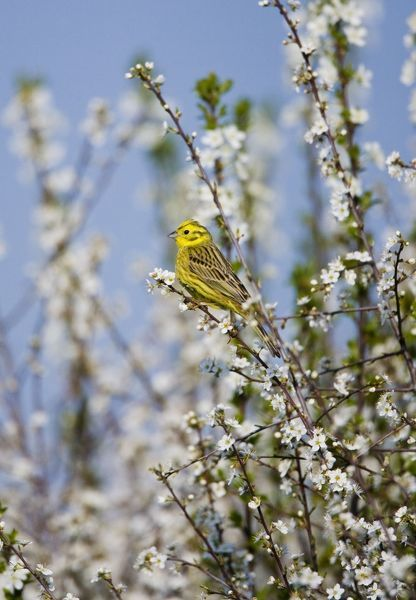 RES-1138 Yellowhammer - adult male  perched on white blossom - Oxon - UK - April Emberiza citrinella George Reszeter Please note that prints are for personal display purposes only and may not be reproduced in any way