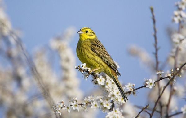 RES-1139 Yellowhammer - adult male - perched on white blossom Oxon - UK - April Emberiza citrinella George Reszeter Please note that prints are for personal display purposes only and may not be reproduced in any way