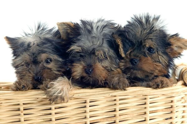LA-1304 Yorkshire Terrier Dogs - three puppies in basket Jean Michel Labat Please note that prints are for personal display purposes only and may not be reproduced in any way