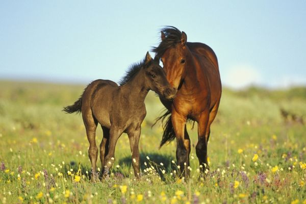 TOM-1608 Young adolescent wild horse checks out this years colt in meadow of wildflowers Montana Western U.S., summer. Tom & Pat Leeson Please note that prints are for personal display purposes only and may not be reproduced in any way