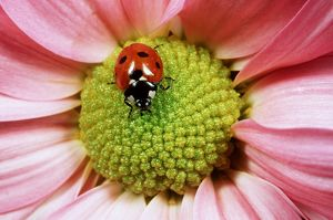 7-SPOT LADYBIRD - on flower