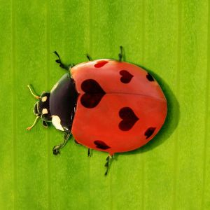 7-spot Ladybird with hearts instead of spots