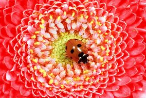 7-SPOT LADYBIRD - On Pink Flower