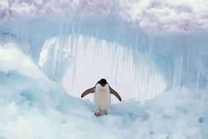 ADELIE PENGUIN - standing on ice, wings spread