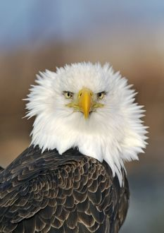 Adult Bald Eagle.