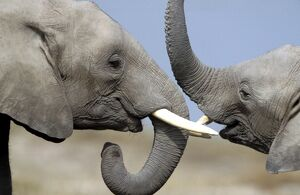 African Elephant - two