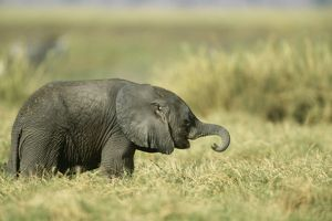 AFRICAN ELEPHANT - baby