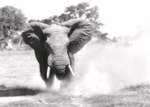 African Elephant - bull displaying aggressive behaviour when in musk