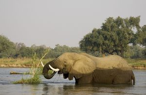 African Elephant - Bull feeding on a little grass and reed island in the Zambezi River.