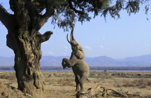 African ELEPHANT - bull, on hind legs, feeding on acacia tree branches
