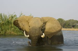 African Elephant - Bull in the Zambezi River has been feeding on a reed island