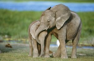 African ELEPHANT - two calves