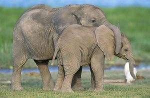 AFRICAN ELEPHANT - two calves playing
