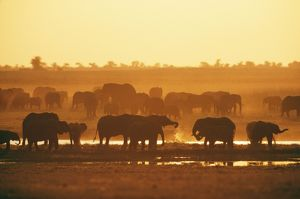 African Elephant - Herd at water