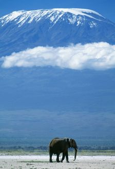 AFRICAN ELEPHANT - old bull, with Mt. Kilimanjaro in distance