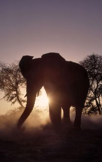 African Elephant - Silhouette at dusk