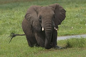 African Elephant - in swamp