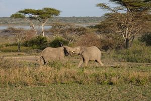 African Elephants - young bulls jousting