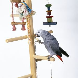 African Grey PARROT - on perched with toys