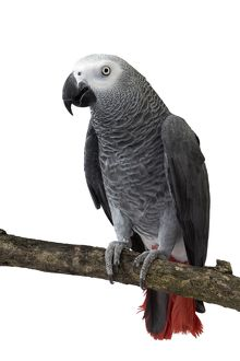African Grey Parrot sitting on a branch